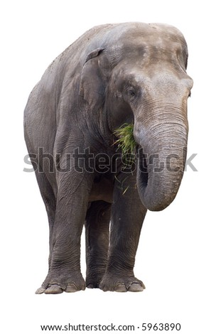 Elephant eating grass isolated on white background. Clipping path included.