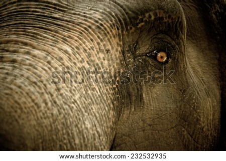 elephant ; elephant eyes are looking - stock photo