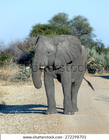 Elephant (Elephantidae) in the Etosha National Park - Namibia, South-Western Africa - stock photo