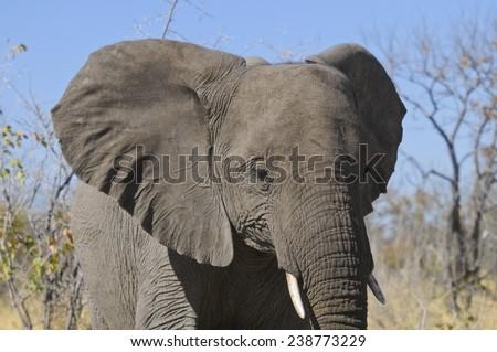Elephant, Etosha, Namibia, Africa - stock photo