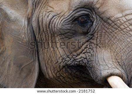 Elephant face - stock photo