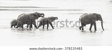 Elephant family crossing river (Black and White) - stock photo