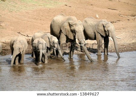 Elephant family drinking at the Mara River in the Masai Mara Reserve (Kenya)