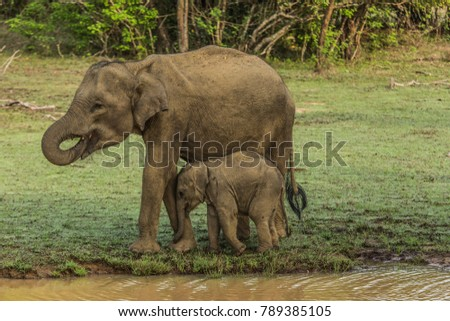 Elephant family going for a stroll with an elephant baby in national park in Sri Lanka, nature in national park, elephant couple