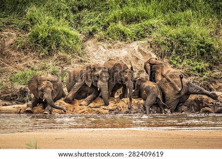 Elephant family having a fun time alone the banks of the river in Africa's Kruger National Park. - stock photo