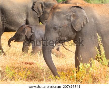 Elephant family in Udawalawe - stock photo