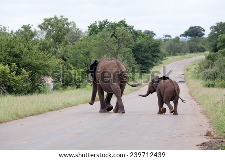 Elephant family is crossing the road. South Africa, Kruger National Park. - stock photo