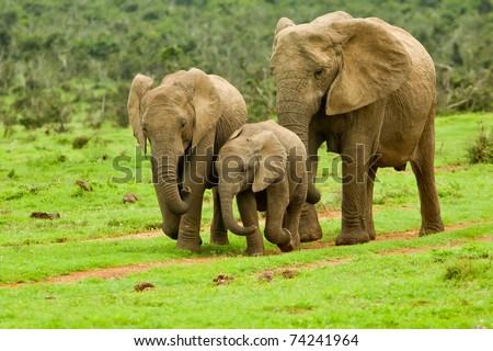 elephant family walking towards a water hole - stock photo