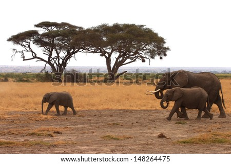 Elephant family with a baby walking through the savanna - stock photo