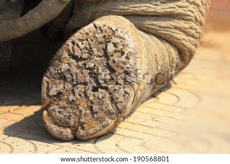 Elephant feet - stock photo