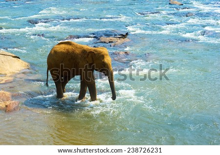 Elephant from the Pinnewala Elephant Orphanage in the river - stock photo