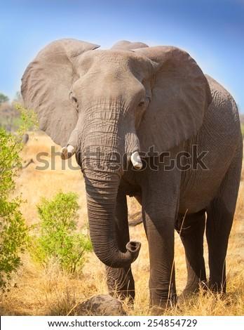 elephant front view - stock photo