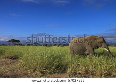 Elephant grazing in front of Kilimanjaro - stock photo