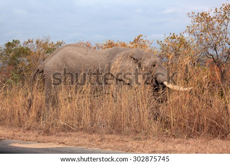 Elephant grazing next to the road in the National Kruger Park, South Africa in the early morning. - stock photo