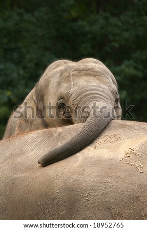Elephant hanging with trunk over other - stock photo