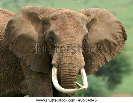 elephant head on - stock photo