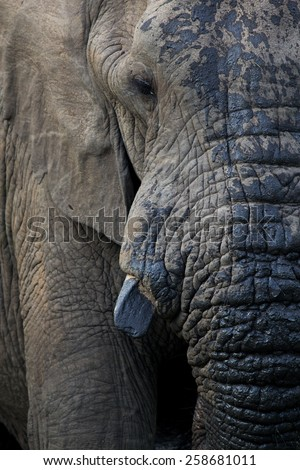 Elephant Head shot - stock photo
