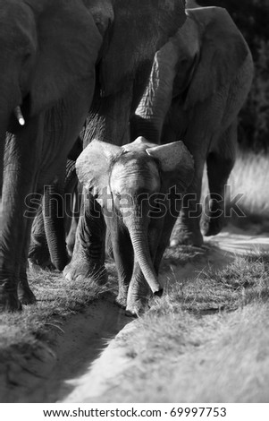 Elephant herd and calf in black and white - stock photo