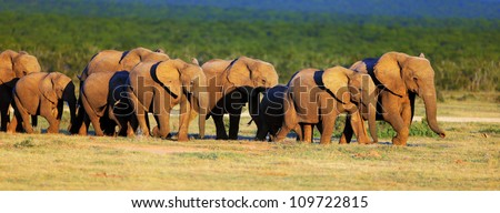 Elephant herd approach over green plains - Addo National Park - stock photo