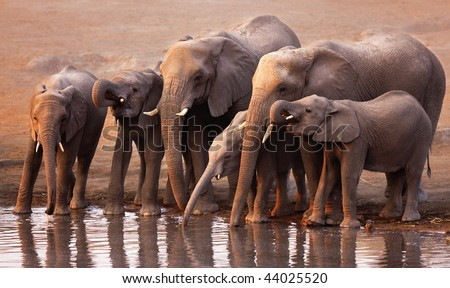 Elephant herd drink at a waterhole in Etosha - stock photo