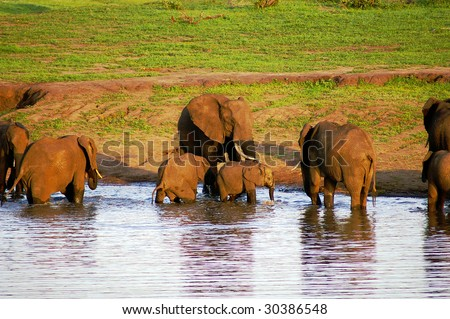 Elephant herd drinking in the early morning - stock photo