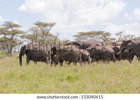Elephant herd go in profile on savanna against cloudy sky background. Serengeti National Park, Great Rift Valley, Tanzania, Africa. - stock photo