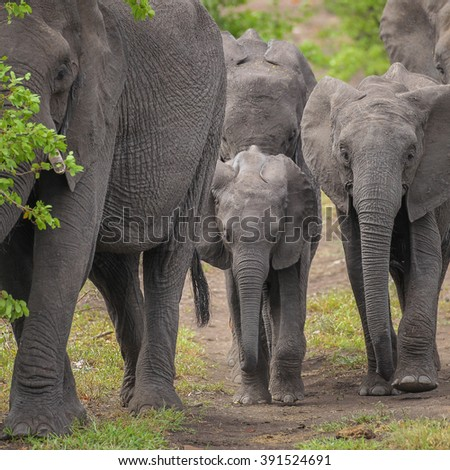 Elephant herd on the move, Kruger National Park, South Africa