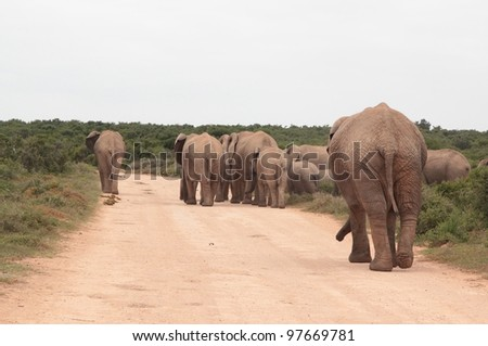 Elephant herd walking down the road