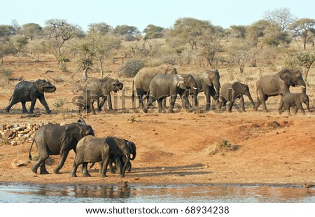 Elephant herd walking past a water hole in Kruger park - stock photo