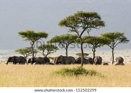 Elephant herd walking through the Savannah in Massai Mara, Kenya. - stock photo