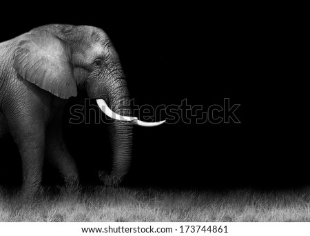 Elephant in black and white with copy space - stock photo