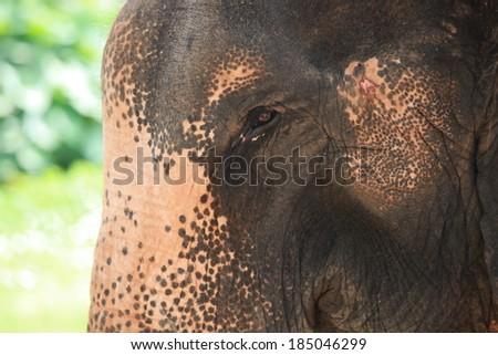 Elephant in captivity in Thailand. - stock photo