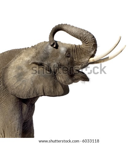Elephant in front of a white background - stock photo