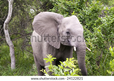 Elephant in Kruger Park - stock photo