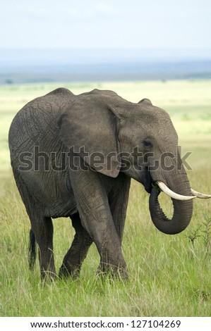Elephant in masai mara national park, Kenya. - stock photo