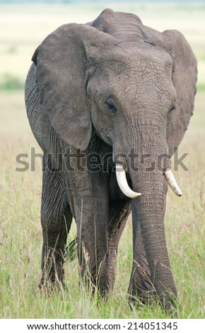 Elephant in masai mara national park, Kenya - stock photo