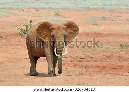 Elephant in National park of Kenya, Africa - stock photo