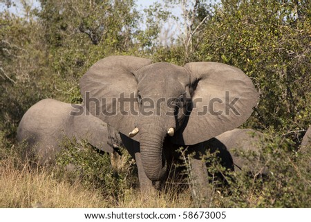 Elephant in Sabi Sands, South Africa - stock photo