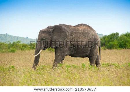 Elephant in savanna, Kenya, Africa - stock photo