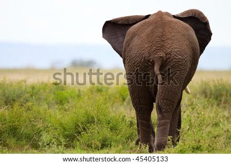 Elephant in Tarangire national park, Tanzania - stock photo