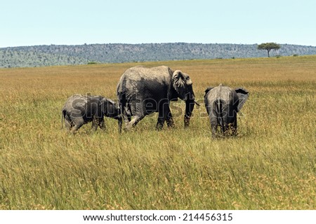 Elephant in the African savannah Masai Mara - stock photo