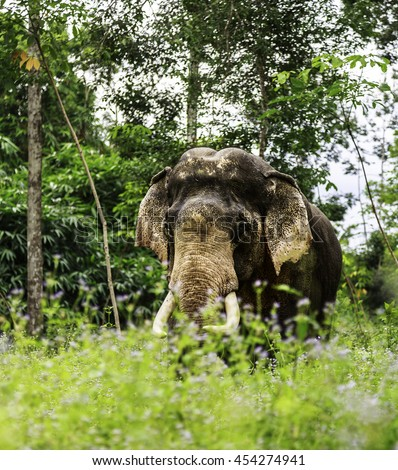 elephant in the garden elephant  face trunk asian animal  perfect shape stands facing at the camera head aniamal  - stock photo
