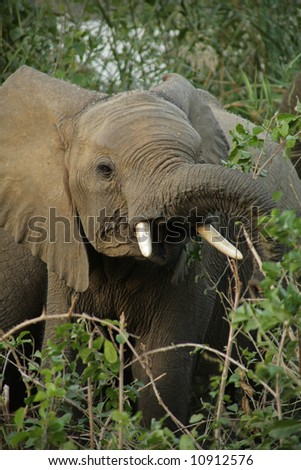 Elephant in the Kruger National Park, South Africa