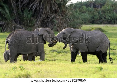 Elephant in the National Reserve of Africa, Kenya