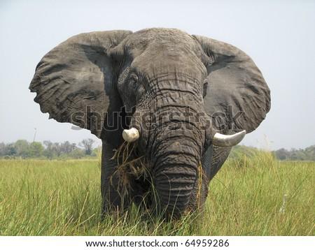 Elephant in the Okavango Delta Botswana Africa - stock photo
