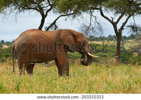 Elephant in the savanna of Tanzania. - stock photo