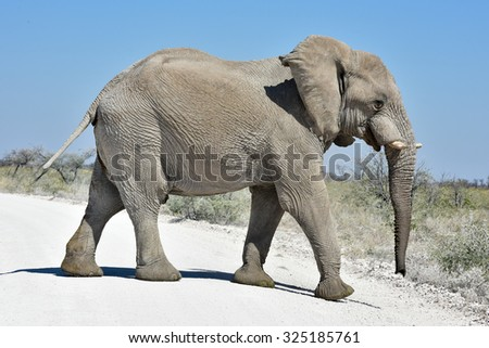 Elephant in the wild in Etosha National Park, Namibia, Africa.