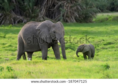 Elephant in the wild - national park Kenya