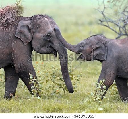 Elephant in the wild on the island of Sri Lanka - stock photo