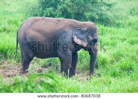 Elephant in the wild,Thailand